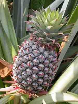 khasiat buah nanas