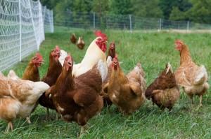 Peluang Usaha Keripik Usus Ayam